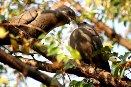 Garden Variety Birds - light brown birds in tree touching beaks