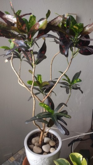 Unknown Houseplant - branchy plant with clusters for red and green leaves with yellow speckles