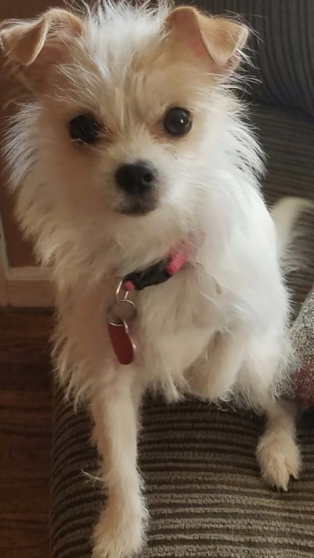 What Is My Chihuahua Mixed With?