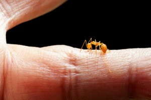 A fire ant biting a person on the hand.
