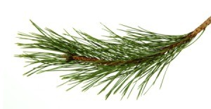 A pine branch on a white background.