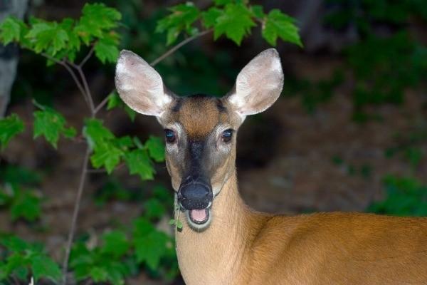 Homemade Deer Repellents Thriftyfun