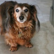 An elderly dog with cataracts.