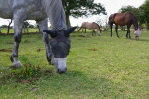Horses with fly nets to keep the horse flies off their heads.