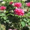 A rose bush with dark pink roses.