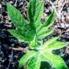 Spring Greenery (Oakleaf Hydrangea) - new foliage