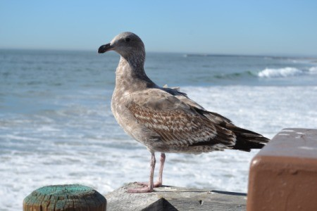 A seagull at Oceanside Pier, CA.