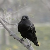 Getting Rid of Crows - crow on branch