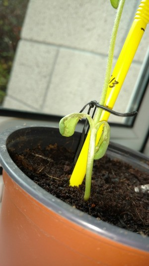 The bottom leaves on a sunflower sprout wilting.