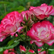 Bright pink roses growing outside.