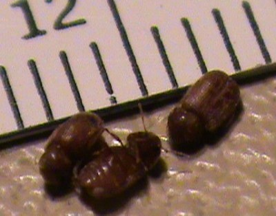 Drug Store Beetles. Tiny Hard Shelled Bugs on Kitchen Countertops  Drug Store Beetles