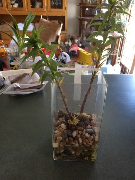 A glass vase with an Oriental lily growing in water.