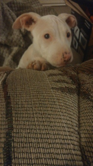 Is My Pit Bull Puppy Mixed?