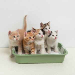 A bunch of kittens in a litter box.
