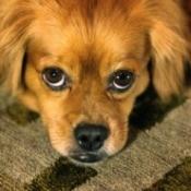 A Pekinese-Poodle cross bred dog.