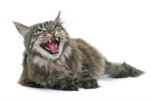 An angry cat, hissing at something.