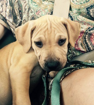What Breed Is My Dog? - yellow puppy