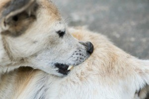 A dog biting his coat.