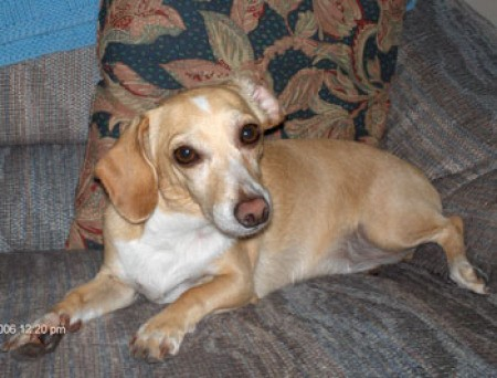 A Dachshund mix sitting on a couch.