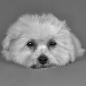 Hypoallergenic Pets - Bichon Frise