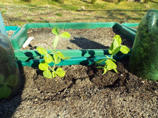 Accepting Gardening's Disappointments - unscathed snow peas