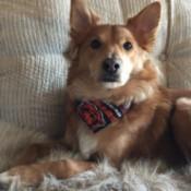 Bucky (Shetland Sheepdog/Staffordshire Terrier)