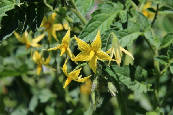 Protecting tomato plants from animals thriftyfun a tomato plant with yellow flowers mightylinksfo