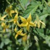 A tomato plant with yellow flowers.