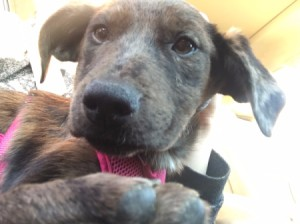 Caring for a Puppy with Parvo  - Catahoula Leopard puppy