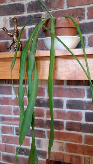 Identifying a Houseplant - long drooping leaves with long stem to left