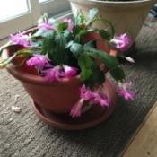 Blooming Cactus - pink blooming cactus
