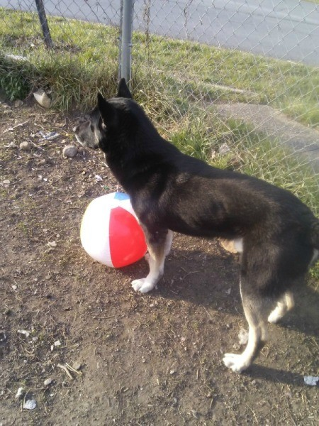 Inflatable Beach Ball Enrichment  Activity for Dogs - dog standing next to ball