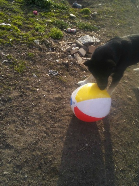 Inflatable Beach Ball Enrichment Activity for Dogs - trying to get it