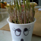 Grow Grass Hair for Project or Pets - sprouted rye for decoration, Easter egg nest, of for cats