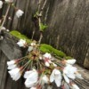 Moss and Weeping Cherry Blossoms - blossoms hanging over mossy fence