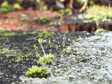 Mas Moss - tiny moss with water droplets