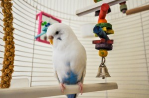 Bird in cage with bird toys.