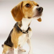 Breed Information: Beagle