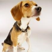 Breed Information: Beagle