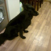 House Trained Dog Pooping Inside - black dog siting on floor in front of the washer