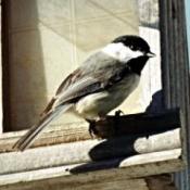 Chickadee at Feeder - bird on wood feeder