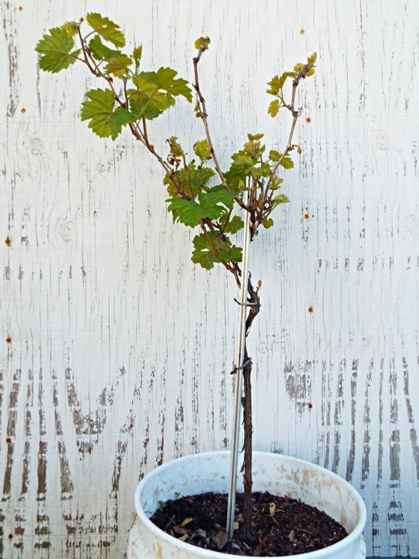 Growing Grape Vines Requires Patience - potted grape vine