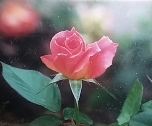 A pink rosebud growing outside.