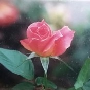 A pink rosebud growing outside.