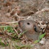 Gopher popping his head out of a hole in the ground.