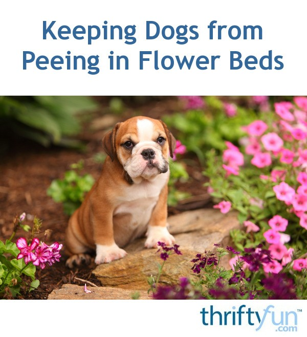 My Dog Peed On My New Rug: Keeping Dogs From Peeing In Flower Beds