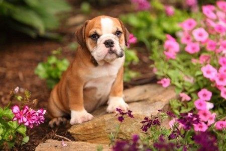 Bull Dog Puppy in a flower bed.