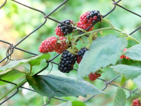 Blackberry vines in a chainlink fence.
