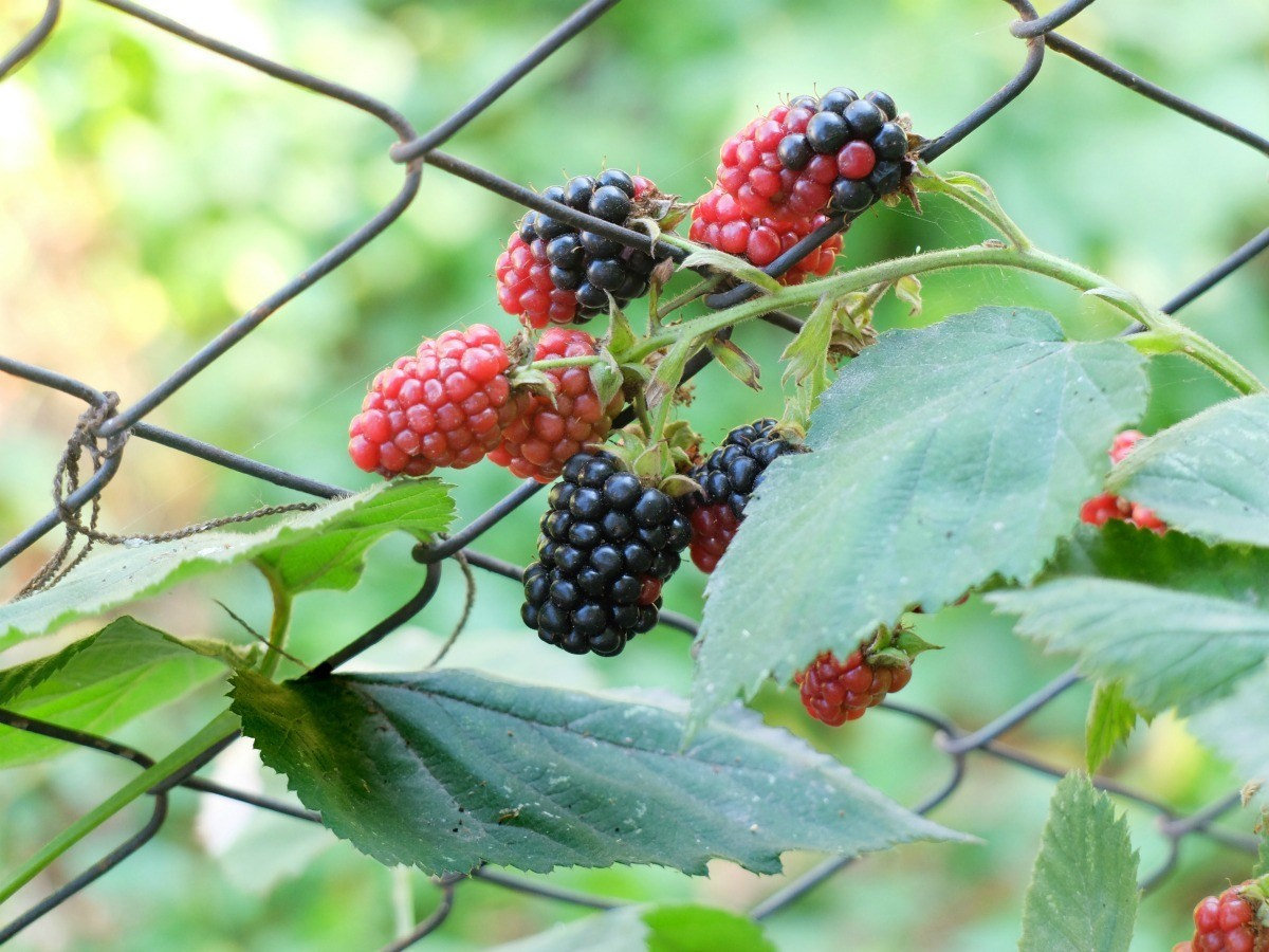Getting Rid of Blackberry Bushes | ThriftyFun