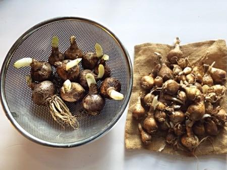 Flower Bulb Savings Continue - bulbs